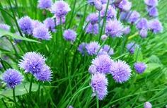 Chive Talkin'-so many ways to use chives! Love Flowers, Vegetable Garden, Real Food Recipes, Planting Flowers, Home And Garden, Herbs, Backyard, Spring, Plants