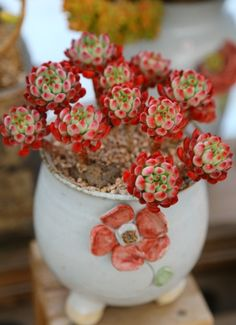 Beautiful stess coloring on this sedeveria - cute pot, too! Succulents For Sale, Types Of Succulents, Colorful Succulents, Succulents In Containers, Succulent Landscaping, Succulent Gardening, Planting Succulents, Planting Flowers, Succulent Plants