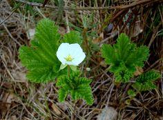 Rabamurakas - raba ja samblasoometsade taim. Rubus chamaemorus. Cloudberry.