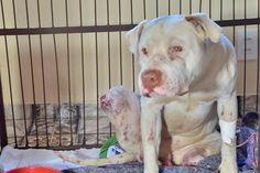 Em defesa de Sansão, assine a petição para aumentar a pena para quem maltrata animais - GreenMe.com.br Crime, Pitbulls, Kittens And Puppies, Pup, Dog Cat, Feather, Animais, Cats, Pit Bull Dogs