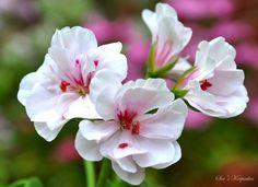 Ivy Leaf Geranium 'Blanche Roche' (Pelargonium peltatum)