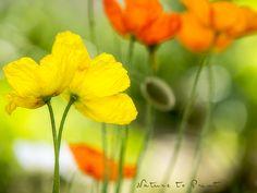 Islandmohn. Tipps zur Aussaat, Pflege und Blumenfotografie.