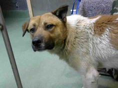 ****URGENT 3/15/18 Devore -CA- BALDWIN - ID #A691627 I am a male, white and tan Shepherd. I am about 2 years old. http://petharbor.com/pet.asp?uaid=SBCO1.A691627 I have been at the shelter since Mar 07, 2018.