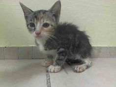 TO BE DESTROYED 7/12/14<br />Manhattan Center<br /><br />My name is JENNY. My Animal ID # is A1005447.<br />I am a female brn tabby and white domestic sh mix. The shelter thinks I am about 7 WEEKS old.<br /><br />I came in the shelter as a STRAY on 07/02/2014 from NY 10460, owner surrender reason stated was STRAY. I came in with Group/Litter #K14-184492.<br /><br />MOST RECENT MEDICAL INFORMATION AND WEIGHT<br />07/10/2014 Exam Type OBSERVATION - Medical Rating is 4 C - SEVERE CONDITIONS…