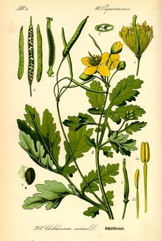 Vintage Prints, Plant Leaves, Herbs, Plants, Gardening, Health, Herbal Medicine, Health Care, Lawn And Garden