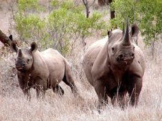 Condemn Club for Allowing Shooting of Endangered Black Rhino   ****Please Sign****   http://animalpetitions.org/3185/condemn-club-for-allowing-shooting-of-endangered-black-rhino/
