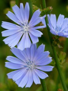 Cichorium intybus – Common Chicory is a bushy, perennial plant. The stem is a groved, tough and more or less hairy, up to 40 inches. Fresh Flowers, Colorful Flowers, Wild Flowers, Beautiful Flowers, Exotic Flowers, Purple Flowers, Flower Fairies, Flower Art, Cactus Flower