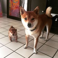 Shiba Inu Hachi and Tsuki Cute Baby Dogs, Silly Dogs, Cute Dogs And Puppies, I Love Dogs, Corgi Puppies, Fox Dog, Dog Cat, Cute Dogs Breeds, Dog Breeds
