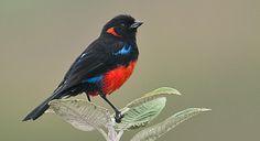 Scarlet-bellied Mountain Tanager, Bolivia, Colombia, Ecuador, Peru, & Venezuela  #wm