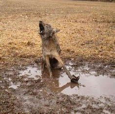 PLEASE CALL MONTANA'S GOVERNOR BRIAN SCHWEITZER ON MONDAY & TUESDAY, IN PROTEST OF THE TRAPPING OF MONTANA'S WOLVES.     Phone Public Comments: 406-444-3111   Email Public Comments : mailto:governor@m...