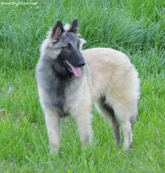 """Belgian Tervuren, 10 months, Silver, Caught this great pic of my """"Best . Belgian Dog, Belgian Tervuren, Belgian Shepherd, Shepherd Dogs, Little Dogs, Big Dogs, Dogs And Puppies, Border Collie, Berger Malinois"""