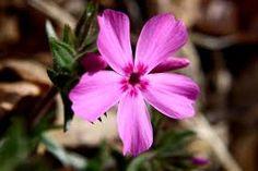 Resultado de imagen de flor phlox