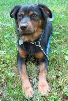 Logan the Mixed Breed -- Dog Breed: Australian Shepherd / Rottweiler Dogs And Kids, I Love Dogs, Dogs And Puppies, Unique Dog Breeds, Rare Dog Breeds, Rottweiler Facts, Rottweiler Puppies, German Dog Breeds, Mixed Breed