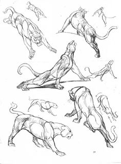 Lion panther feline