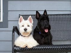 Westies and Scotties are always best Friends, just like Zoie and Ace.