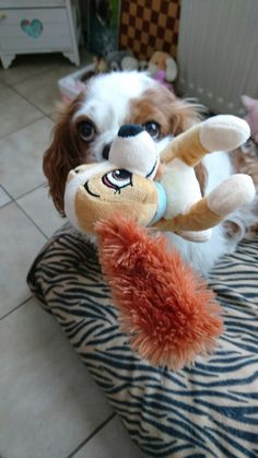 Cavaliers love their toys Cavalier King Charles, King Charles Spaniel, Funny Dog Toys, Best Dog Toys, Spaniel Dog, Spaniels, Cutest Dog Ever, Dog Lady, Beautiful Dogs