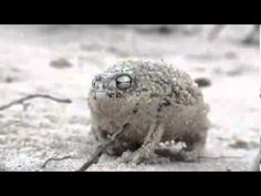 Squeaky Frog - The World's Most Adorable Frog