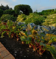 Root vegetables in the Regenstein Fruit & Vegetable Garden. #summer