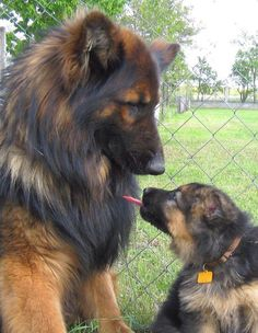 Wicked Training Your German Shepherd Dog Ideas. Mind Blowing Training Your German Shepherd Dog Ideas. Big Dogs, I Love Dogs, Cute Dogs, Dogs And Puppies, Long Haired German Shepherd, German Shepherd Puppies, German Shepherds, Shiloh Shepherd, Blue German Shepherd