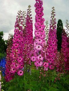 delphinium | greengardenblog.comgreengardenblog.com