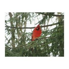 Red Cardinal Wrapped Canvas Print