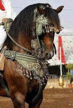 Berber horse ready for Fantasia Feast. Morocco