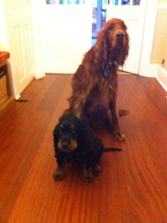 Arthur and Stanley #irish #gordon #setter