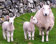 Cheviot Sheep- I used to have two of these named Baabette and Sweet Pea.