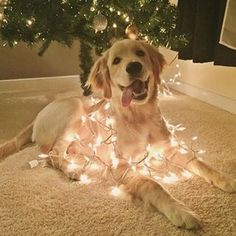 This golden retriever wrapped in festive lights. - Sanjo - This golden retriever wrapped in festive lights. This golden retriever wrapped in festive lights. Animals And Pets, Funny Animals, Cute Animals, Funny Dogs, Baby Animals, I Love Dogs, Big Dogs, Really Cute Puppies, Rottweiler