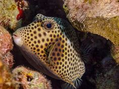 Spotted Trunkfish Grand Cayman