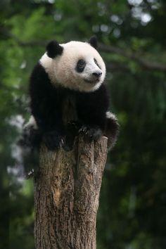 今日のパンダ(2189日目)   毎日パンダ