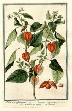 Giorgio Bonelli: Hortus Romanus. Rom, 1772-1793. Lampionblume