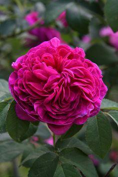 Rosa gallica 'Charles de Mills'
