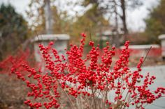 Bright Red Winterberry really catches your eye