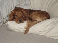 Looks like Rosie, a red-gold Golden -- everyone needs a Golden Retriever
