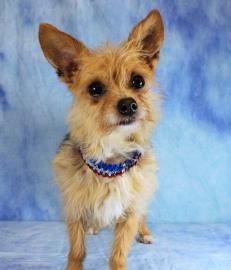Meet Lulu, a 4 yr 2 mo. old female Terrier/ Yorkshire Mix available for adoption in LOUISVILLE, KY. http://www.petango.com/Adopt/Dog-Terrier-Yorkshire-23009128