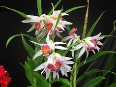 Cattleya × brymeriana
