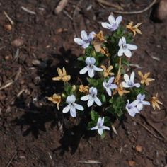 Hardy, evergreen, flat growing, groundcover with attractive round leaves. Small starry white flowers are borne along the trailing stems. Evergreen, White Flowers, Grass, Gardening, Leaves, Plants, Grasses, Lawn And Garden, Plant