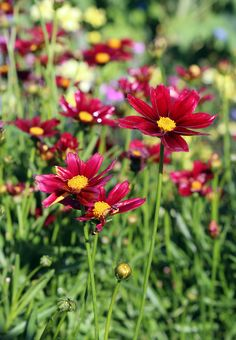 This is a gorgeous, jewel-toned flower with golden yellow eye. The wiry stems make it a nice in a vase too! (Coreopsis 'Lil Bang Red Elf')