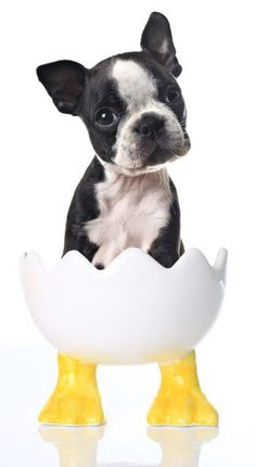 """Acquire excellent recommendations on """"boston terrier puppies"""". They are offered for you on our internet site. Boston Terrier Temperament, Brindle Boston Terrier, Boston Terrier Names, Boston Terrier Love, Boston Terriers, Terrier Breeds, Terrier Puppies, I Love Dogs, Cute Dogs"""