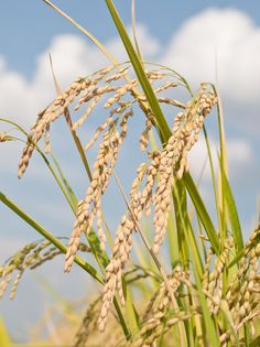 Gene in rice plants whose suppression improves sugars to make biofuels!
