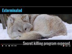 Exterminated: Secret killing program exposed  -  HELP END THE WAR ON WILDLIFE HERE: https://endthewaronwildlife.org/