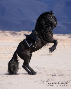 The Friesian stallion Xander.