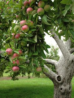Apple tree... a memory for our apple orchard behind the house.