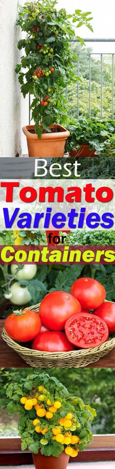Grow Organic Tomatoes Growing tomatoes in containers Growing Herbs In Pots, Tips For Growing Tomatoes, Growing Tomatoes In Containers, Growing Veggies, Grow Tomatoes, Porch Tomatoes, Cherry Tomatoes, Baby Tomatoes, Dried Tomatoes