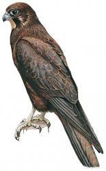 new zealand falcon drawing