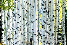 Aspens All In A Row  Crested Butte Colorado by TheBlondeDutchGirl
