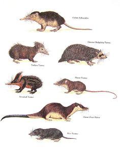 Cuban Solenodon Shrew Tenrec Giant Otter by mysunshinevintage Reptiles, Mammals, Nature Animals, Animals And Pets, Animal Plates, Red Kangaroo, Exotic Pets, Exotic Animals, Quokka