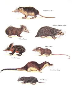 Cuban Solenodon, Shrew Tenrec, Giant Otter Shrew, Greater Hedgehog Tenrec - Vintage 1984 Animal Book Plate