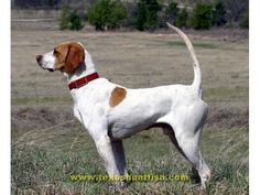 english pointer.  Looks like a dog we had when I was a kid. Country Dr Jack